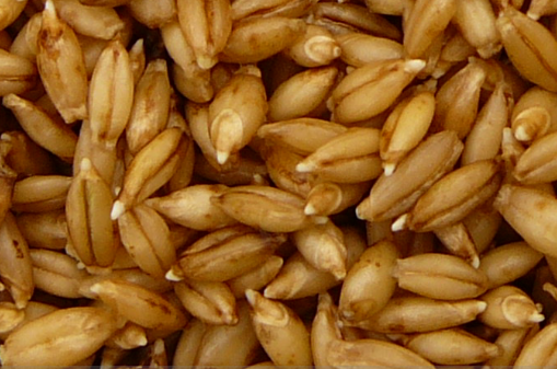18 hour old barley sprouts