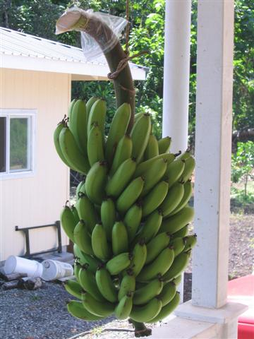 What? You don't have bananas hanging on your lanai?