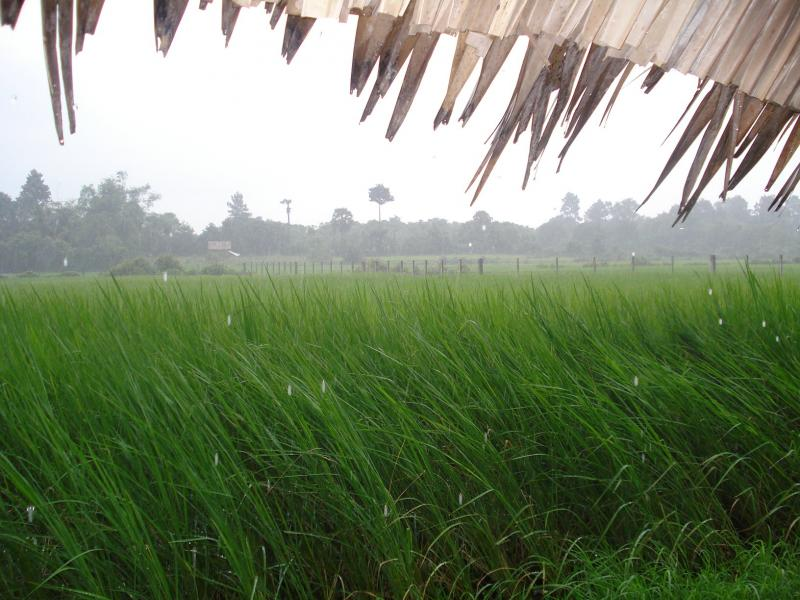 Rainfall at a rice field in Cambodia